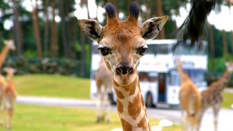 SERENGETI-PARK_Tierwelt_Giraffe_blog